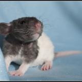 Lilo - Prague Ratter
