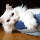 sweety - Turkish Angora