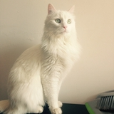 Lyssen - Turkish Angora
