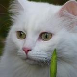 sweety - Angora turc
