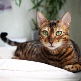 Simba - Bengal