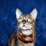 🐾 Ben et Lewis le chat-chien🐾 - Bengal