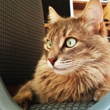 Strange Cat Max - British longhair