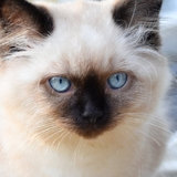 Lexie, Bambou et Nouki - British shorthair