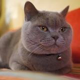 Gatsby - British shorthair