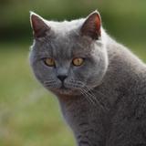 Lewis - British shorthair