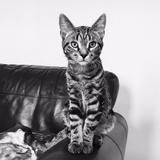 Wilbur - British shorthair