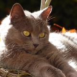 bluenote - Chartreux