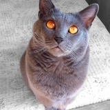 Melody - Chartreux