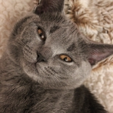 Isis Love ♥ - Chartreux