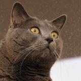 Griffon aux yeux d'or - Chartreux