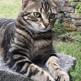 Coquillette - European Shorthair