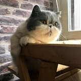 Lily Blue - Exotic shorthair