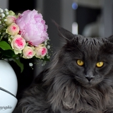 Lena et Marko of Homega - Maine Coon