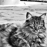 MOÏSE - Maine Coon