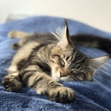 Mistral - Maine Coon