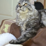 Marllow Of Homega 73 - Maine Coon