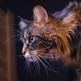 Awillix - Maine coon