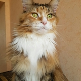 Isis Bella  - Maine Coon