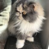 Winnie - Persan