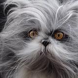 Atchoum the cat - Persa