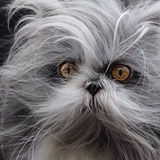 Atchoum the cat - Persan