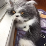 Atchoum the cat - Persian