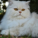 Lilou - Persian