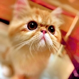 Leo Brooklyn - Exotic shorthair