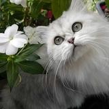Duchesse - Persian