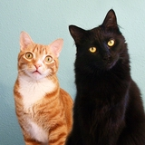 Cole & Marmalade - Turkish Angora