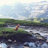 Lara - Appenzeller Sennenhund
