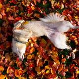 Belka - Alaskan Husky
