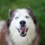 Youky - Alaskan Husky