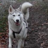 Jessy - Alaskan Husky