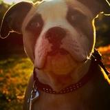 Olympe ❤ - American Bulldog