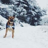 Dexter - American Pit Bull Terrier