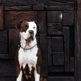 Rocco  - American Pit Bull Terrier