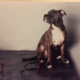 Marvel - American Staffordshire Terrier