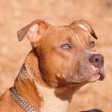 Jewel & Marley - American Staffordshire Terrier