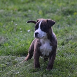 Alpha - American Staffordshire Terrier