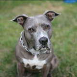 Shiva 🐾 🌹 - American Staffordshire Terrier