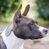 Laika - American Staffordshire Terrier
