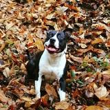 Joke - American Staffordshire Terrier