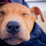 Jahya - American Staffordshire Terrier
