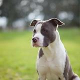Ilko - American Staffordshire Terrier