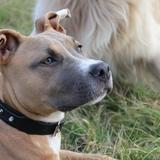 Kyller - American Staffordshire Terrier