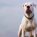 Lalou - Dogo Argentino