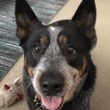 Mika aka 'Fat Sandwich' - Australian Cattle Dog