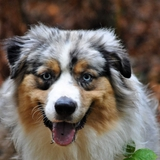 Milton  - Australian Shepherd